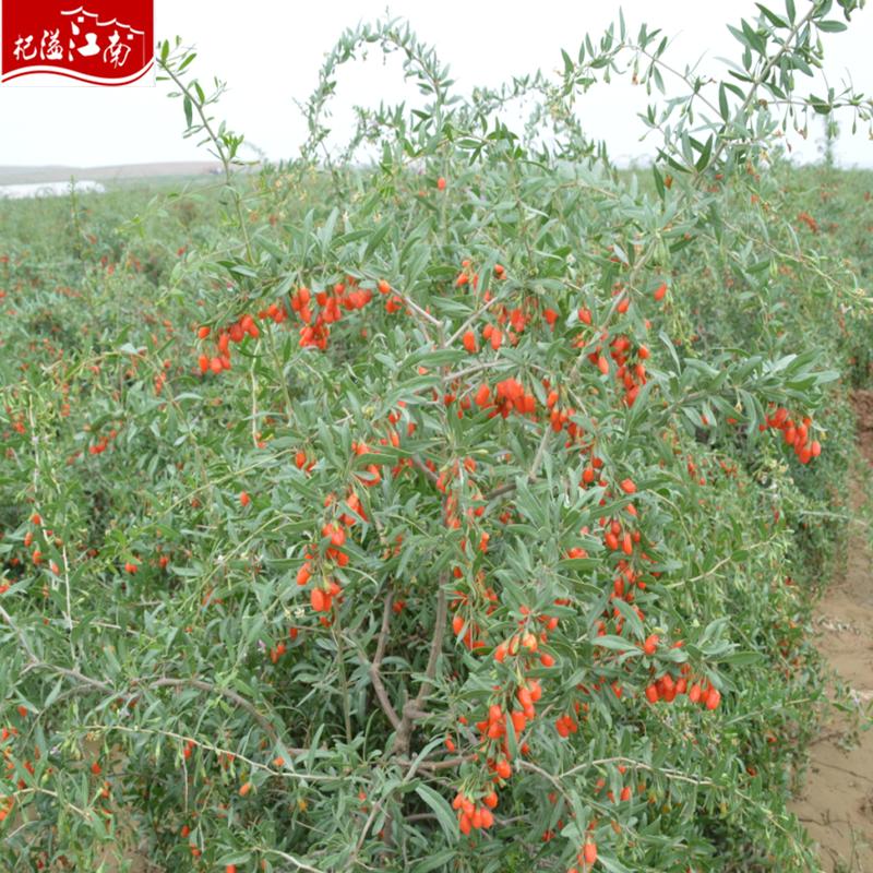 Дереза обыкновенная (ягоды годжи посадка и уход в условиях Подмосковья)