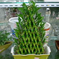 Aquatic plants lucky bamboo wholesale