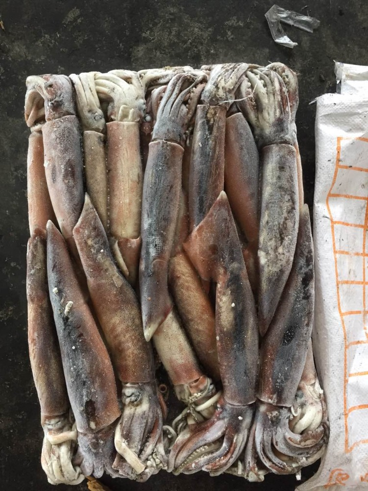 Frozen Whole Round Illex Squid
