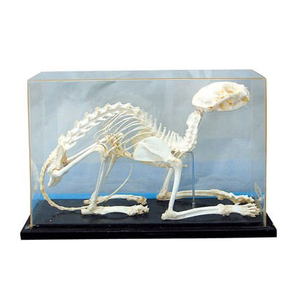 Vivid cat/animal skeleton specimen for teaching and medical purpose