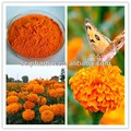 Natural Marigold extract/ Lutein/GMP manufacturer