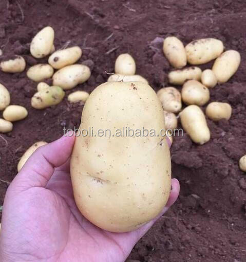 Fresh Healthy Russet Potato