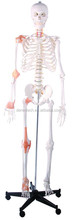 Plastic human skeleton with ligament model