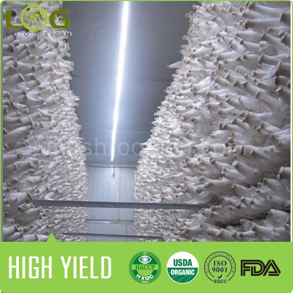 100% Good Quality Pleurotus Eryngii King Oyster Mushroom Spawns Blocks