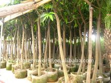 grafted Mangos plants