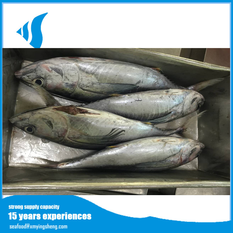 high quality China frozen whole tuna tonggol fish reasonable price