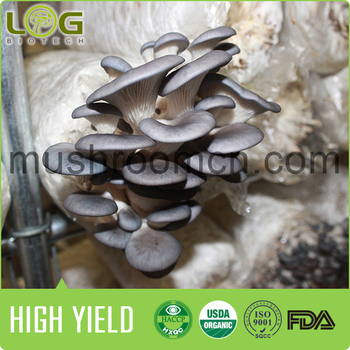 Chinese New Easy Care Oyster Mushroom Growing Bag Product