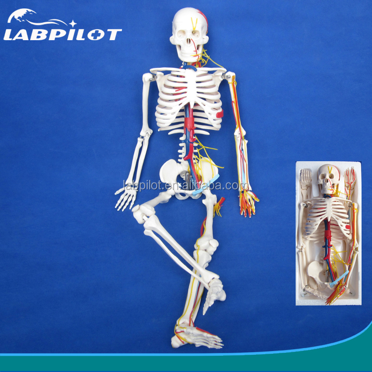 85 cm Menschliches Skelett modell mit Nerven, Blutgefäße, herz ...