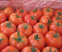 Fresh tomato exporter from China