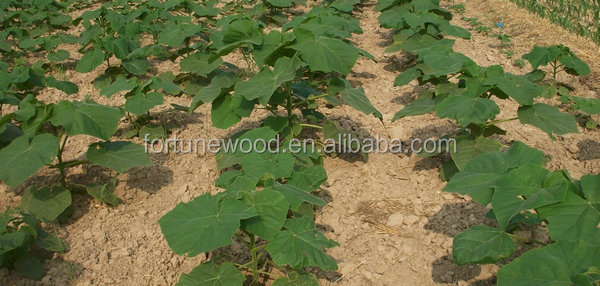 fast growing paulownia shantong and hybrid 9501 and elongata seeds for planting