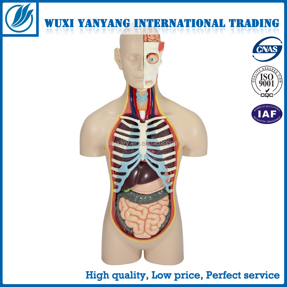 Medical Model For Biology Human Anatomy Torso With Headneck And