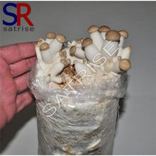Wholesale cultivating fresh great value shiitake mushroom spawn for sale