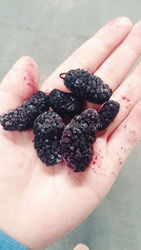 Hi-Tech Freeze-Dried Black Mulberry
