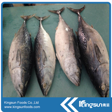 Hot sell Frozen Bonito Fish W/R