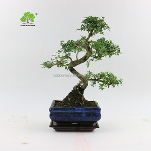 Serissa 15cm S shape indoor ourdoor bonsai nursery chinese bonsai tree