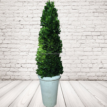 Big Preserved boxwood Spiral Topiary Tree