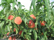 2016 High Quality Fruit Tree Seeds Peach Seed For Sale