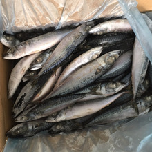 Sea Frozen Whole Round Pacific Mackerel fish on sales frozen seafood canned food