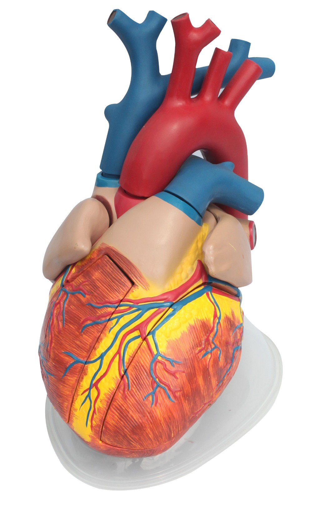 Plastic 5times of lize size anatomical Human Heart Model for medical model