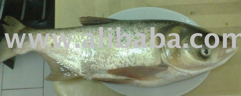 Frozen Silver carp (Big Head) whole round / meat