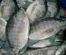 Best US farm raised tilapia fish