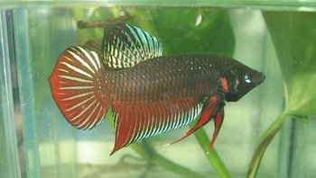 Betta fish fighter thai buy fish figther product on for Best place to buy betta fish