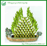 Pyramid-Shaped Wholesale Dracaena Lucky Bamboo