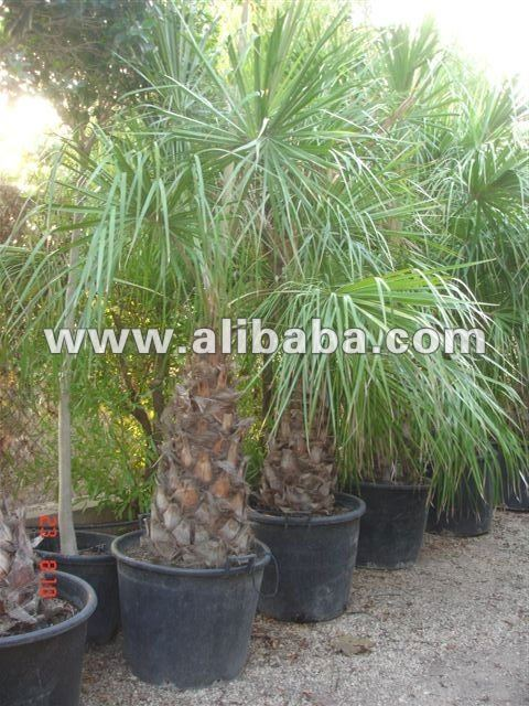 "Livistonia Decipiens ""Ribbon Fan Palm"""