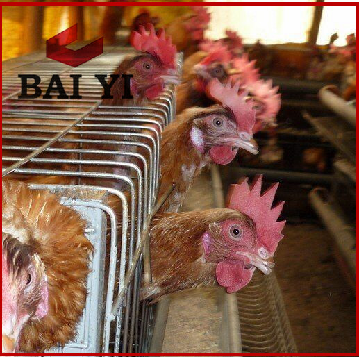 Automatic poultry layer cage system for layer chickens