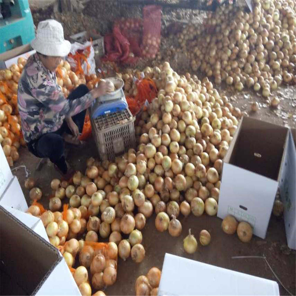 factory price Chinese yellow Onion