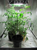 HOT!! sunshine Long Life Span induction lamp replace of 100 watt hps grow light