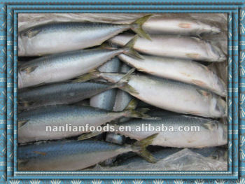 fishing boat mackerel for sale 300-500g