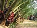 Crude Palm Oil (CPO) from Indonesia DIRECT FROM MILLER for SERIOUS BUYERS only