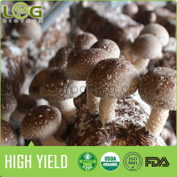 High Harvest Natural Shiitake Mushroom Growing Bag For Sale