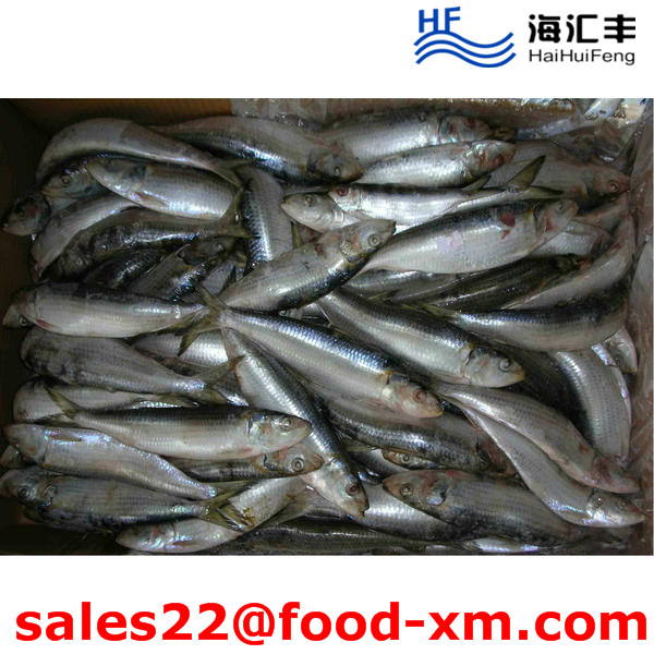 Land Frozen Whole price frozen sardine for Biat from China 6-8pcs/kg