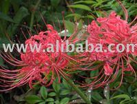 Lycoris Radiata Flower Bulb