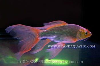Butterfly koi fish for sale aquarium fish export buy for Live butterfly koi fish for sale