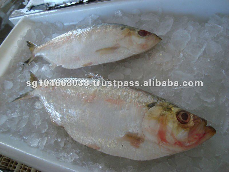 HILSA WHOLE ROUND