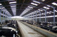 prefabricated steel structure cattle shed