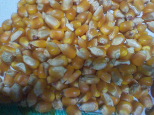 YELLOW CORN GRADE 3