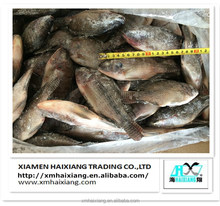 High Quality Bulk Frozen Red Tilapia Whole Round Price