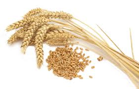 fresh wheat best quality for daily human needs