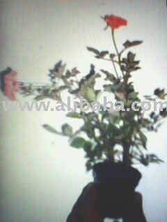 LIVE BABY ROSES PLANTS
