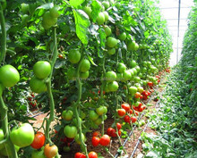 Easily Assembled and installed tomato film Greenhouse