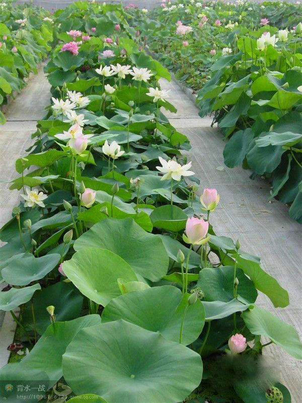 High sprouting rate mixed colors of lotus seed water lily for Lotus plant for sale