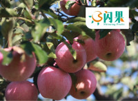 Apple fruit/2015 apple price/ blush red color fuji apple