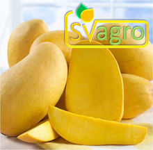 Spray Dried Ripe Mango Pulp Powder