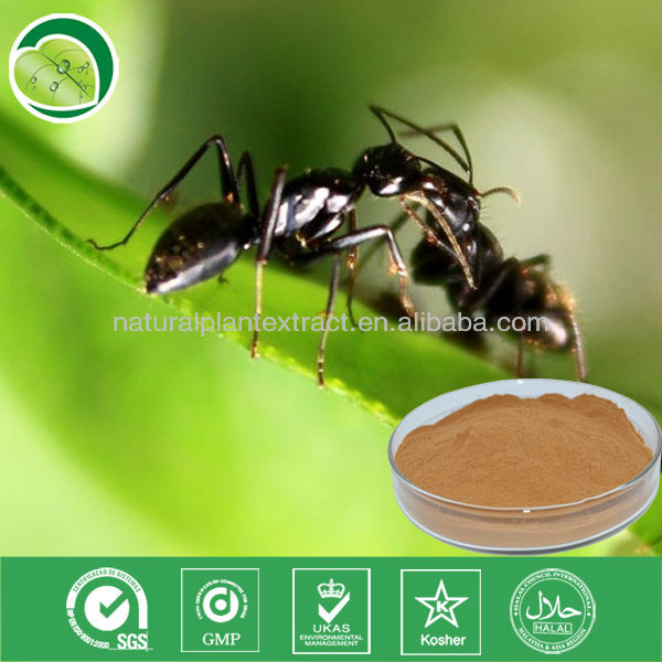20:1 polyrachis black ant extract Polyrhachis dives powder