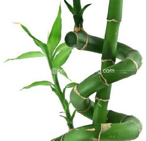 spiral lucky bamboo 25cm-100cm DRACAENA SANDERIANA air bonsai tree indoor aquatic feng shui plants nursery garden decoration