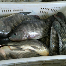 Hot Sell A Grade Tilapia Fingerlings